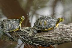黄色尾巴乌龟 免版税库存图片
