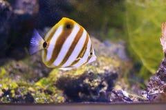 黄色尾巴蝴蝶鱼 免版税图库摄影