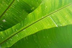 绿色层数香蕉的关闭留给自然抽象背景 库存图片