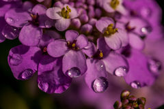 紫色屈曲花属植物花 库存图片