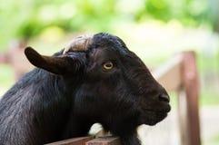 黑色山羊 免版税图库摄影