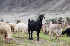 黑色山羊 免版税库存图片