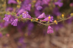 紫色山麓小丘钓钟柳花 免版税库存图片