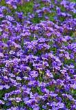 紫色岩石水芹,紫色花 免版税图库摄影