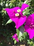 紫色布干维尔岛 免版税图库摄影