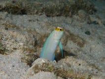 黄色带头的大颚鱼02 库存照片