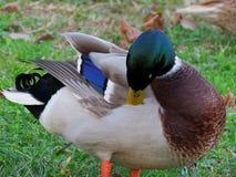 绿色带头的鸭子 库存图片