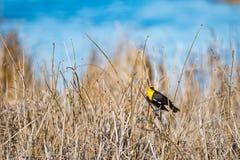 黄色带头的黑鹂& x28; Xanthocephalus xanthocephalus& x29; 库存照片