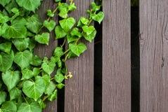 绿色常春藤和木头纹理 免版税库存图片