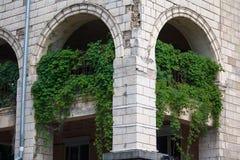绿色常春藤在墙壁上更加浓厚增长 库存图片