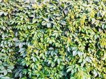 从绿色常春藤墙壁的纹理 库存照片