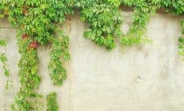 绿色常春藤墙壁 免版税库存照片