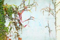 绿色常春藤爬山虎属tricuspidata Veitchii 库存图片