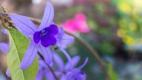 紫色常春藤花开花 库存图片