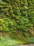 绿色常春藤覆盖物墙壁 库存图片