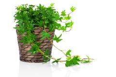 绿色常春藤(常春藤属螺旋)在罐 库存图片