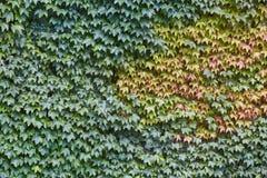 绿色常春藤离开在一个垂直的石墙 库存照片