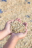 黄色干咖啡豆在妇女手上 免版税图库摄影
