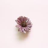 紫色干燥花 免版税库存照片