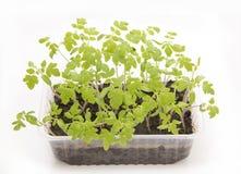 绿色幼木新芽蕃茄 免版税库存图片