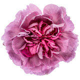 紫色康乃馨花 库存照片