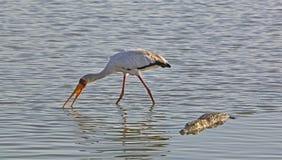 黄色开帐单的鹳和鳄鱼,塞卢斯禁猎区,坦桑尼亚 免版税库存照片