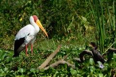 黄色开帐单的鹳和鸬鹚,奈瓦夏湖,肯尼亚 免版税库存图片