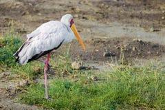黄色开帐单的鹳在纳库鲁国家公园(肯尼亚) 库存图片