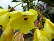 黄色开花与水滴和蜂的特写镜头 库存照片