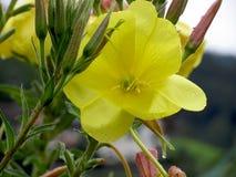 黄色开花与水滴的特写镜头 免版税库存照片