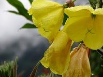 黄色开花与水滴的特写镜头 库存图片