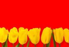黄色开花在红色背景隔绝的郁金香 库存图片