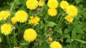 黄色开花在绿色背景的蒲公英 股票录像