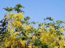 黄色开花开花在与蓝天,泰国全国花泰国叫的Ratchaphruek的夏天的金黄阵雨或桂皮瘘 图库摄影