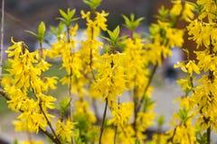 黄色开花植物在日本的春天 库存图片