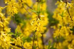 黄色开花植物在日本的春天 免版税图库摄影