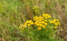 黄色开花的共同的艾菊 库存
