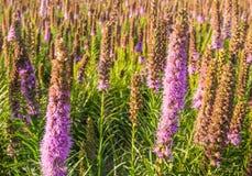 紫色开花的大草原快乐羽毛植物 库存图片