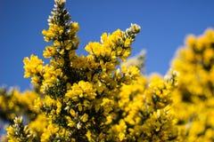 黄色开花的树 免版税库存图片