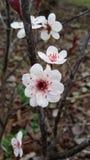 紫色开花的樱桃 库存图片
