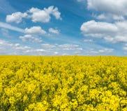 黄色开花的油菜籽领域和蓝天与白色云彩 免版税图库摄影