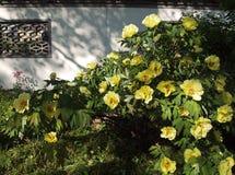 黄色开花的牡丹在中国庭院里 免版税库存图片