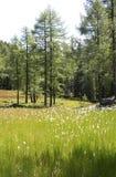 绿色开花的草甸在落叶松属树森林里 免版税库存图片