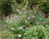 紫色开花的醉鱼草属灌木树荫与蝴蝶的 库存照片