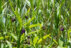 紫色开花的雏菊植物和背后照明 免版税库存图片