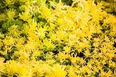 黄色开花的青苔,植物席子装饰开花的青苔gro 免版税库存图片