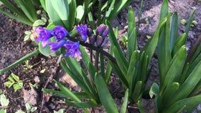 紫色开花的风信花在庭院里增长 股票视频