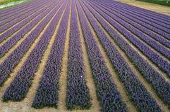 紫色开花的风信花的领域春天在荷兰 免版税库存图片