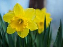 黄色开花的黄水仙,在被弄脏的背景的水仙 春天花拍摄与一个软的焦点,宏指令,关闭 免版税图库摄影
