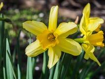 黄色开花的黄水仙,在被弄脏的背景的水仙 春天花拍摄与一个软的焦点,宏指令,关闭 库存图片